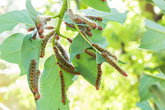 A group of Moth Caterpillars on leaf Royalty Free Stock Photo
