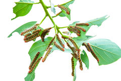 A group of Moth Caterpillars on leaf Royalty Free Stock Photos