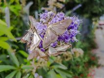 Group of moths of light resting on a purple flower stock image