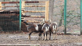 Group of Mouflons stock footage
