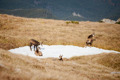 Group of mountain chamois in Tatry mountains Royalty Free Stock Images