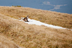 Group of mountain chamois in Tatry mountains Stock Photography