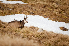 Group of mountain chamois in Tatry mountains Stock Photo