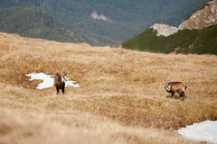 Group of mountain chamois in Tatry mountains Stock Image