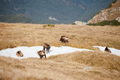 Group of mountain chamois in Tatry mountains Stock Photos