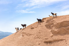 Group of mountain goats on sandy hillside Royalty Free Stock Image
