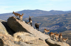 Group of mountain goats in the Sierra Stock Photography