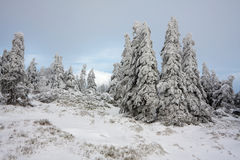 Group of mountain spruces Stock Images