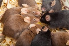Group of Mouses. Group of laboratory mouses eating cheese. Top view photo royalty free stock photography
