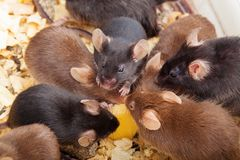 Group of Mouses. Group of laboratory mouses eating cheese. Top view photo Stock Images