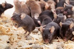 Group of Mouses. Photo of little brown and black laboratory mouses stock photo