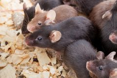 Group of Mouses. Photo of little brown and black laboratory mouses Stock Images