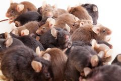 Group of Mouses. Photo of little brown and black laboratory mouses stock photography