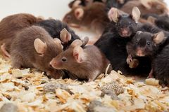 Group of Mouses. Photo of little brown and black laboratory mouses royalty free stock photos