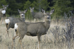 Group of Mule Deer. A Group of Mule Deer looking right at the camera Stock Photography