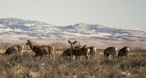 Group of Mule Deer Royalty Free Stock Image