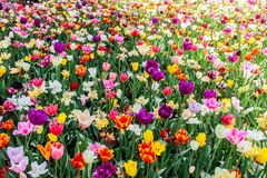 Group of multi-colored tulips in hitachi seaside park. Japann stock photography