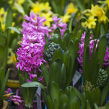 Group multicolored hyacinths. Royalty Free Stock Photos
