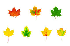 Group of multicolored maple leaves Royalty Free Stock Photos