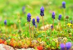 Spring muscari royalty free stock photo