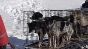 Group of mushers driving sled dogs in cages for transporting animals. Kamchatka Peninsula, Russian Far East - Feb 21, 2019: Group of mushers driving sled dogs in stock video
