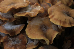Group Mushrooms Royalty Free Stock Photography