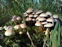 Group of mushrooms. A group of mushrooms in a forest in autumn royalty free stock image