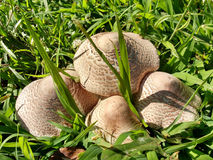 Group of Mushrooms in Grass stock image
