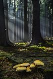Group of mushrooms growing. On an old stump in the fall in forest Royalty Free Stock Photo