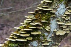 Group of mushrooms hubs growing on a tree trunk. Closeup royalty free stock image