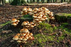 Group of mushrooms on an old tree stump. In the forrest Stock Photo
