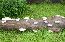 Group of mushrooms on a tree. Group of small mushrooms on tree. Mushrooms on rotten tree Royalty Free Stock Photo