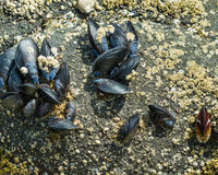 Group of mussels clinging to rocks Royalty Free Stock Image