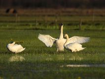 Group of Mute swan birds on grassy meadow in spring season Royalty Free Stock Photography