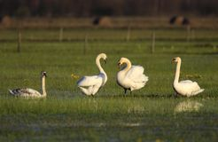 Group of Mute swan birds on grassy meadow in spring season Stock Images