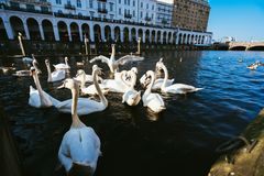 Group of mute swans in Alster lake near the Town Hall. Hamburg, Germany stock photography