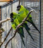 Group of nanday parakeets sitting close together on a branch in the aviary, Colorful and tropical birds from America. A group of nanday parakeets sitting close royalty free stock image