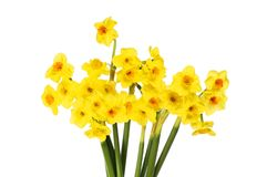 Group of narcissus flowers. Isolated against white stock images