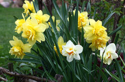 Group of narcissuses. Stock Photography