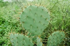Group of natural green cactus with many thorns around royalty free stock image