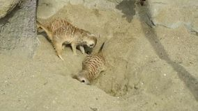 Group of meerkat Suricata suricatta digging in the sand and playing around