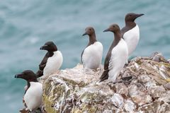 A group of nesting guillemots Uria aalge on the cliffs of the royalty free stock images