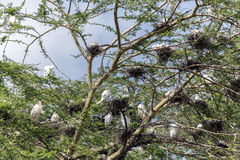 Group nesting-place of white Cattle Egret on an acacia Royalty Free Stock Photos