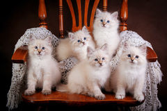 Group of Neva masquerade kittens on brown background stock image