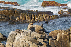 A group of New Zealand fur seals swimming, sunbathing on Colony Stock Photo