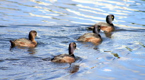 Group of New Zealand Scaup Royalty Free Stock Images