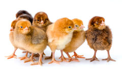 Group of newborn brown chickens Stock Photo