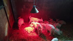 Group of newborn lambs heated by an infrared lamp in a box. Red light on pure white. Lambs licking each other. Group of newborn lambs heated by an infrared lamp stock footage