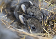 A group of newborn rabbits on a farm Stock Image
