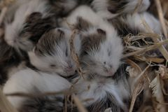 Group newly born Russian hamsters